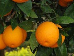 Mehadrin_Shamouti-Orangen_Plantage