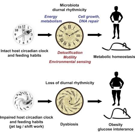 Bakterien im darm entwickeln einen eigenen tag-nacht-rhythmus