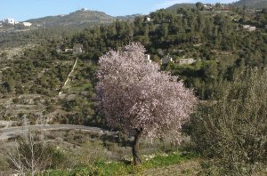 Almonds in the Sataf